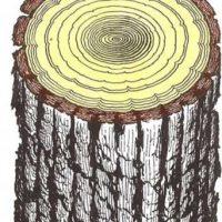 Por qué es áspera la corteza de los árboles